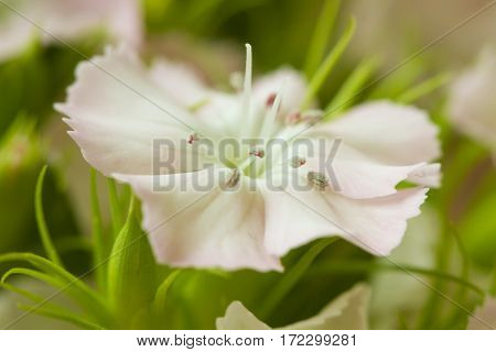 Pink and white sweet-william like spring background outdoor macro blurred