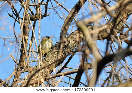European green woodpecker  (Picus viridis) on a tree,