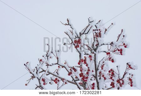 Rowan-tree with red berries under frost attack in the winter garden
