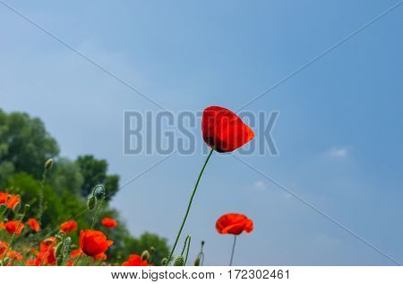 Wild red poppy against blue cloudless sky in May