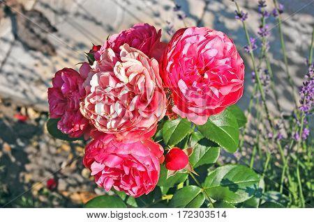 Pink Rosa Odorata