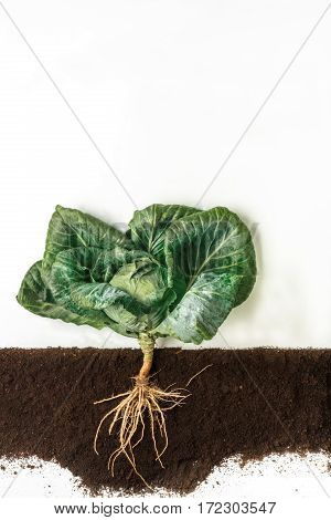 Cabbage grow in ground, cross section of soil, cutout collage. Growing plant with leaves and root system isolated on white background. Agricultural, botany and farming concept