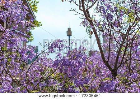 Jacaranda Flowers Close Up With Blurred Sydney Tower On The Background