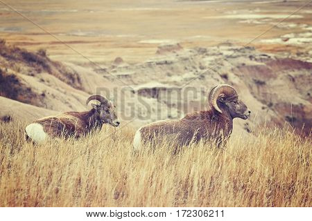 Bighorn Sheep Pair In Grass, Badlands National Park, Usa.