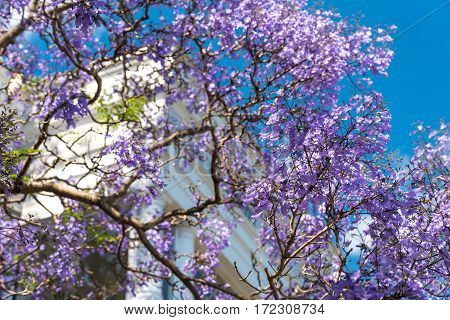Blooming Jacaranda Trees With Urban Background