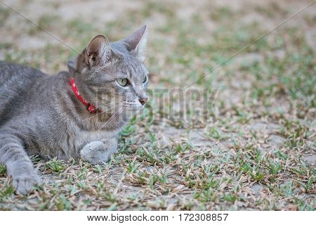 Closeup a gray cat lied on grass field in the garden textured background with copy space