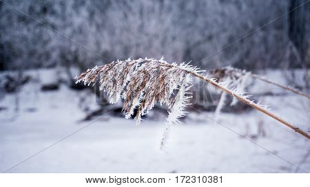 Dry Coastal Reed Covered With Snow, Frozen Winter Scene