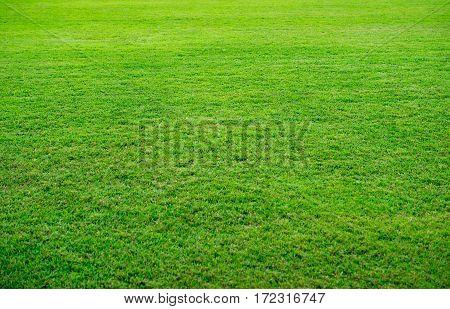 Fresh Green Grass Texture, Beautiful Yard Background.