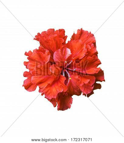 Red hibiscus flower isolated on white background with clipping path