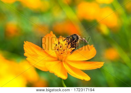 Close up of Bee on yellow blooming cosmos flower.( Macro photo )