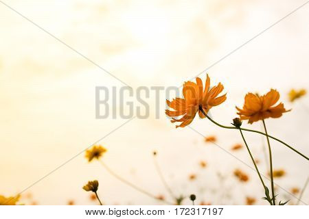 Cosmos flower in the sunset with beautiful soft color.
