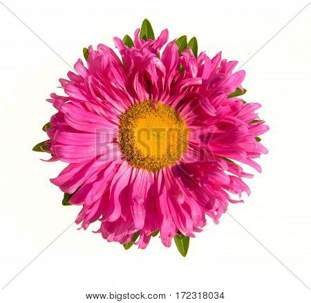 Aster flower isolated on a white background