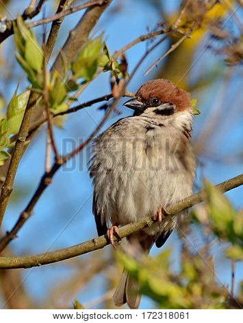 Sparrow on a branch. Closeup. Warming up after a cold winter. Heat, Spring has come, the sun is shining.