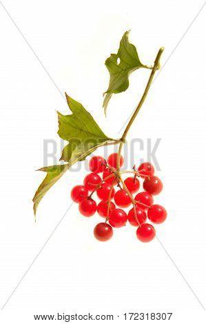 Guelder-rose