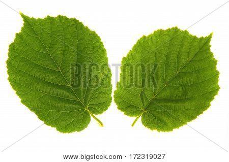 Wood nut leaf on a white background
