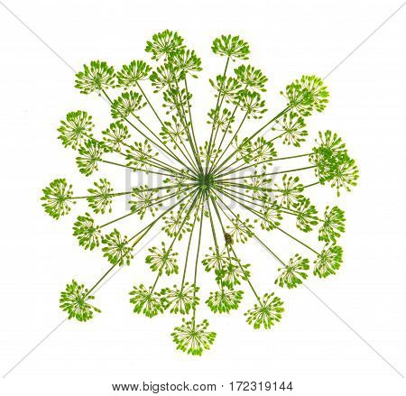 the fennel  isolated on a white background