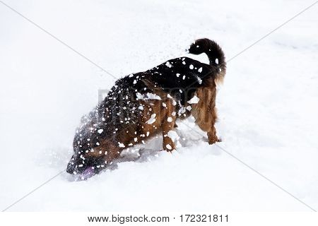 Beautiful cute german shepherd dog lying on a winter snow and playing with toy.