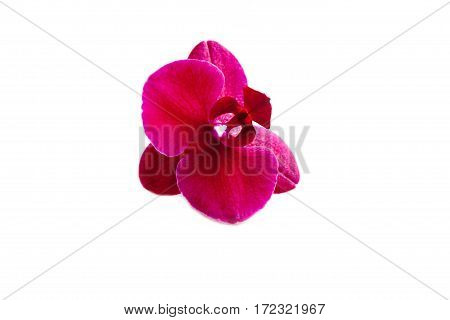 Flower of Burgundy orchid phalaenopsis isolated on the white background.