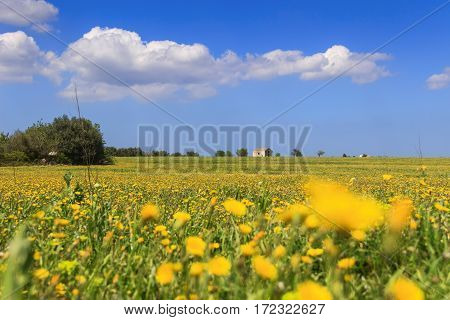 RURAL LANDSCAPE SPRING. Field of yellow flowers. ITALY (Apulia). Countryside with farmhouse abandoned among yellow daisies topped by clouds.