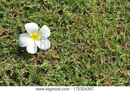 Frangipani Temple tree Plumeria flowers on grass
