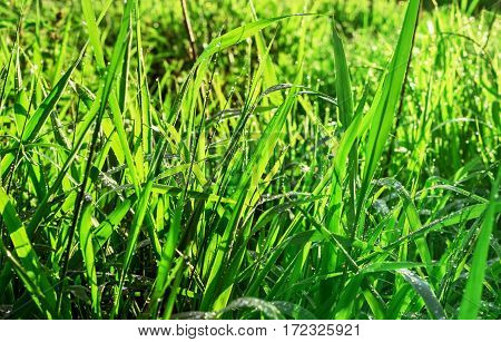 Green grass with drops of water in sunny rays at beauty summer morning
