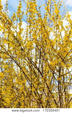 Spring yellow Forsythia europaea blossom in a sun rays on the blue sky background