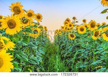 Clearing row in sunflower field. Ranks of the bright young blooming sunflowers. Agricultural background with limited depth of field.