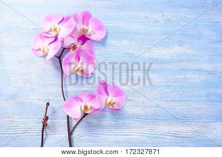 fresh rose orchid flowers on the blue vintage wooden background