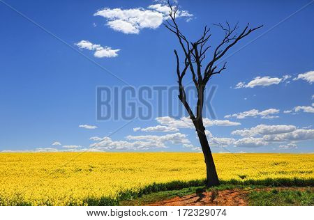 Bare Tree And Golden Canola In Spring Sunshine