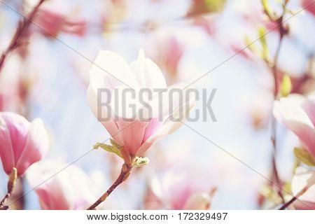 Beautiful light pink magnolia flower on blue sky background. Shallow DOF. Toned image.