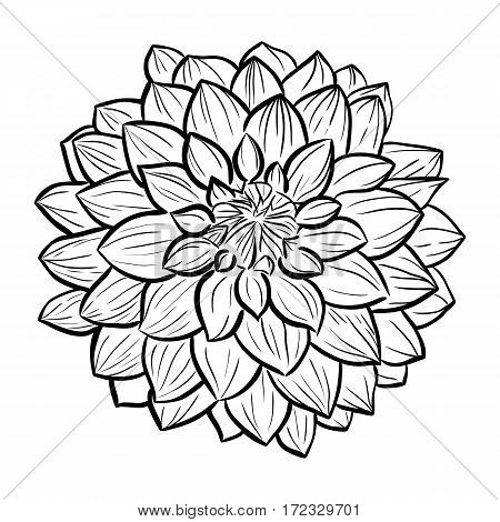 Aster flower hand-drawn contour lines and strokes