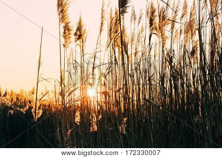 The setting sun shines through the thickets of dry lake reed. Winter