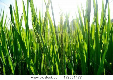 Paddy - Rice Field The rice will be processed into rice, and rice is the staple food of Asia
