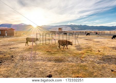 Cow on a field at sunset, California, USA.