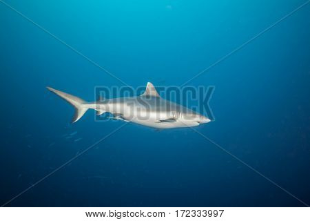 Grey reef shark floating in deep water blue with sunrays