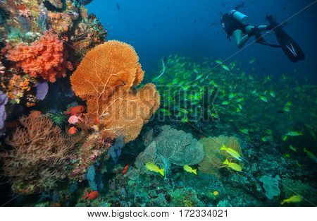 Scuba divers exploring coral reef, Maldives atolls, Indian Ocean. Lot of beautiful colored small fish and soft coral on foreground