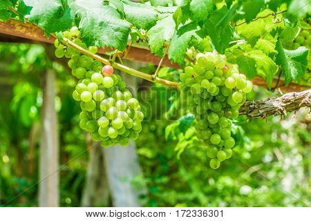 Grapevine on the twig in the garden