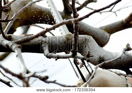 Pruning Apple Tree In An Orchard In Winter