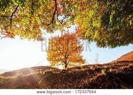 Shiny beech tree on a hill slope with sunny beams at mountain valley. Dramatic morning scene. Red and yellow autumn leaves. Location place Carpathians, Ukraine, Europe. Discover the world of beauty.