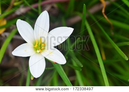 Zephyranthes grandiflora For other plants with the same common name, see Pink rain lily.