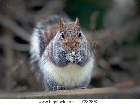The eastern gray squirrel or grey squirrel, depending on region, is a tree squirrel in the genus Sciurus