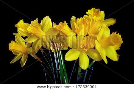 Yellow Daffodils, the national emblem of Wales, UK.