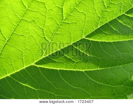 texture of a green leaf in the sunlight poster