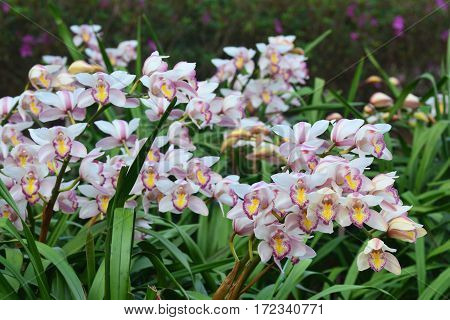 beautiful white cymbidium flower orchid in garden. ** note select focus with shallow depth of field