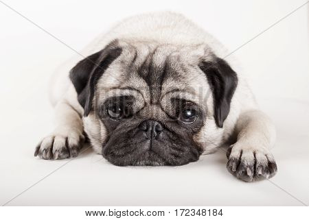 closeup of adorable pug puppy dog lying down and looking sad