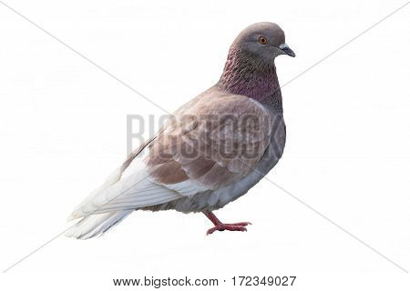 isolated pigeon in the street on whitebackground