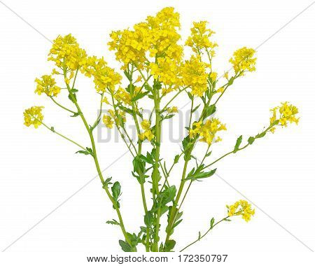 Barbarea vulgaris flower isolated on white background