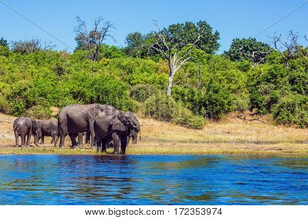 Watering in the river Okavango, Africa. The oldest national park in Botswana - Chobe National Park. Herd of elephants adults and cubs crossing river in water. The concept of active tourism