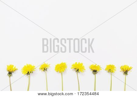 yellow flowers dandelions on a white background under the tape