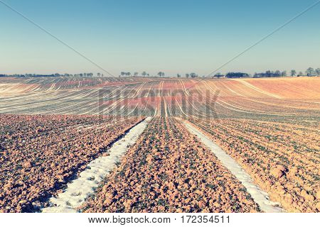 Rows of Seedlings on Hilly Filed at Early Spring
